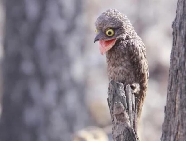 """世界上最""""辛酸""""的鳥,從出生就裝成""""樹"""",一裝就是一輩子"""